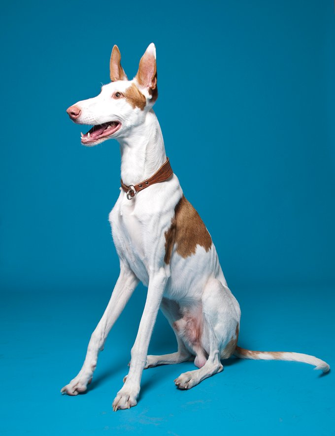 Ibizan Dog Breed Information, Pictures, Characteristics & Facts ...