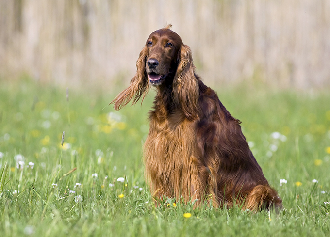 Irish Red & White Setter Dog Breed Picture