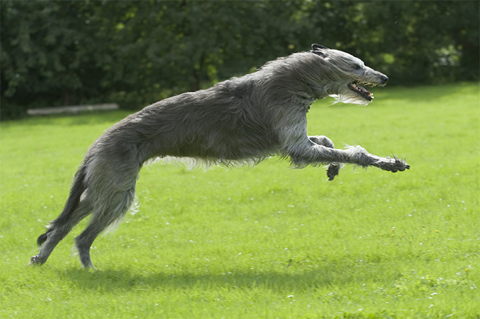 Irish Wolfhound Dog Breed Picture