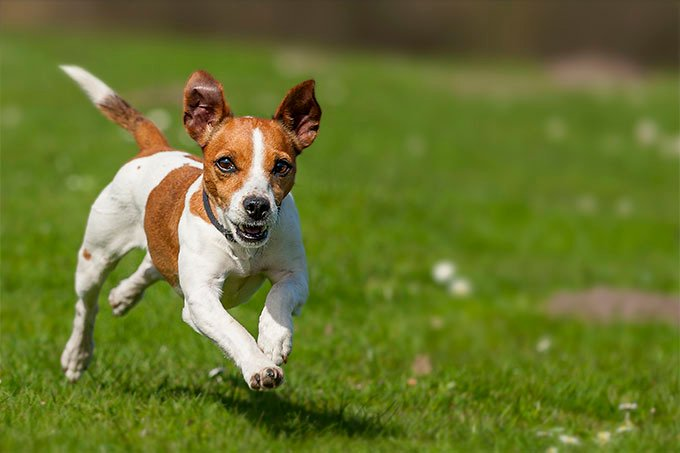 Jack Russell Terrier Coaching - Techniques for Quicker and Easier Coaching
