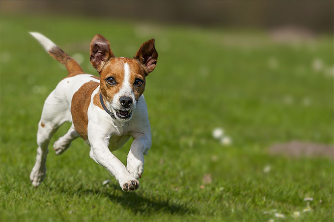 Bits and Tidbits about Jack Russell Terriers