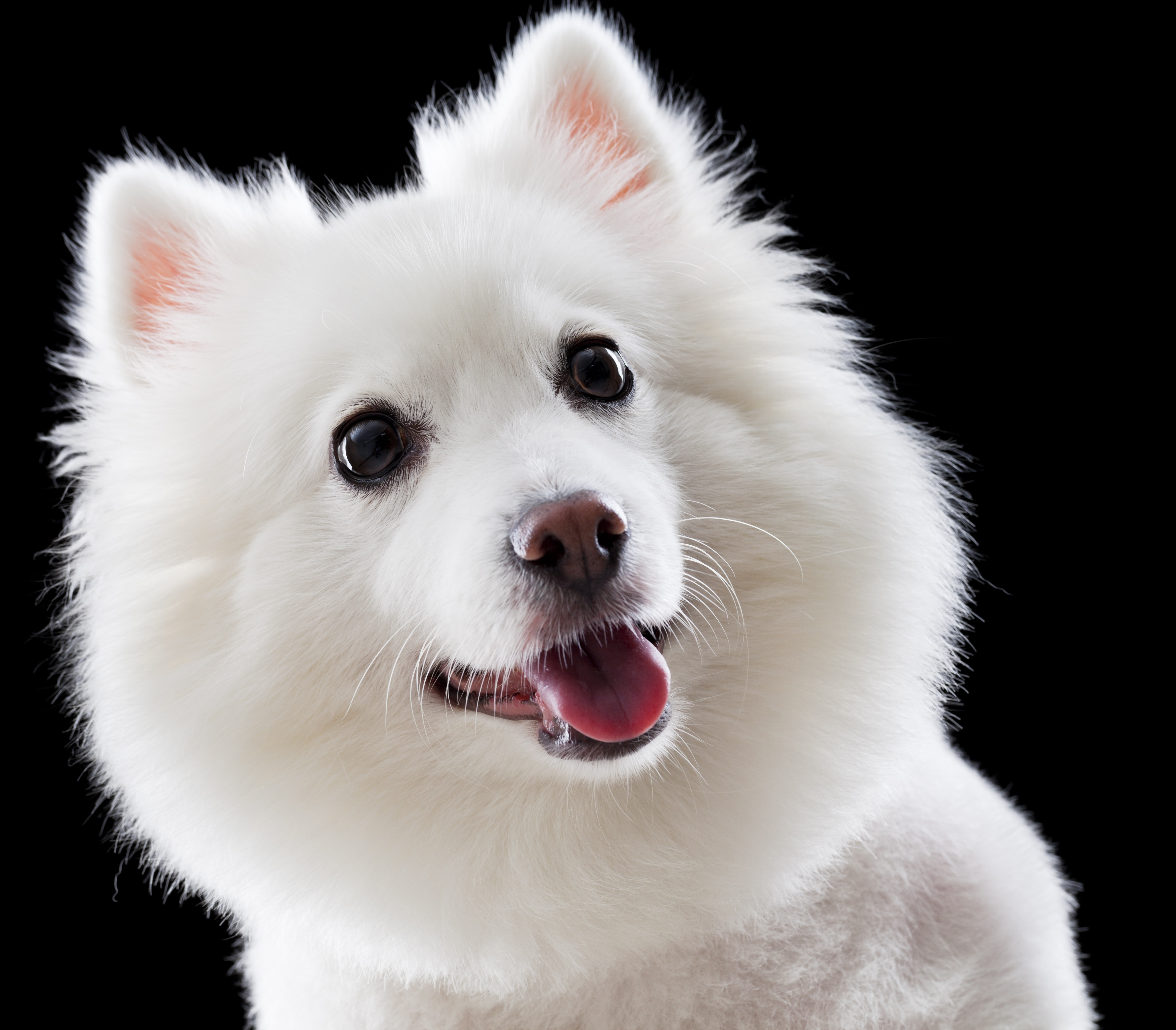 Japanese Spitz Dog Breed Information Pictures Dogtime