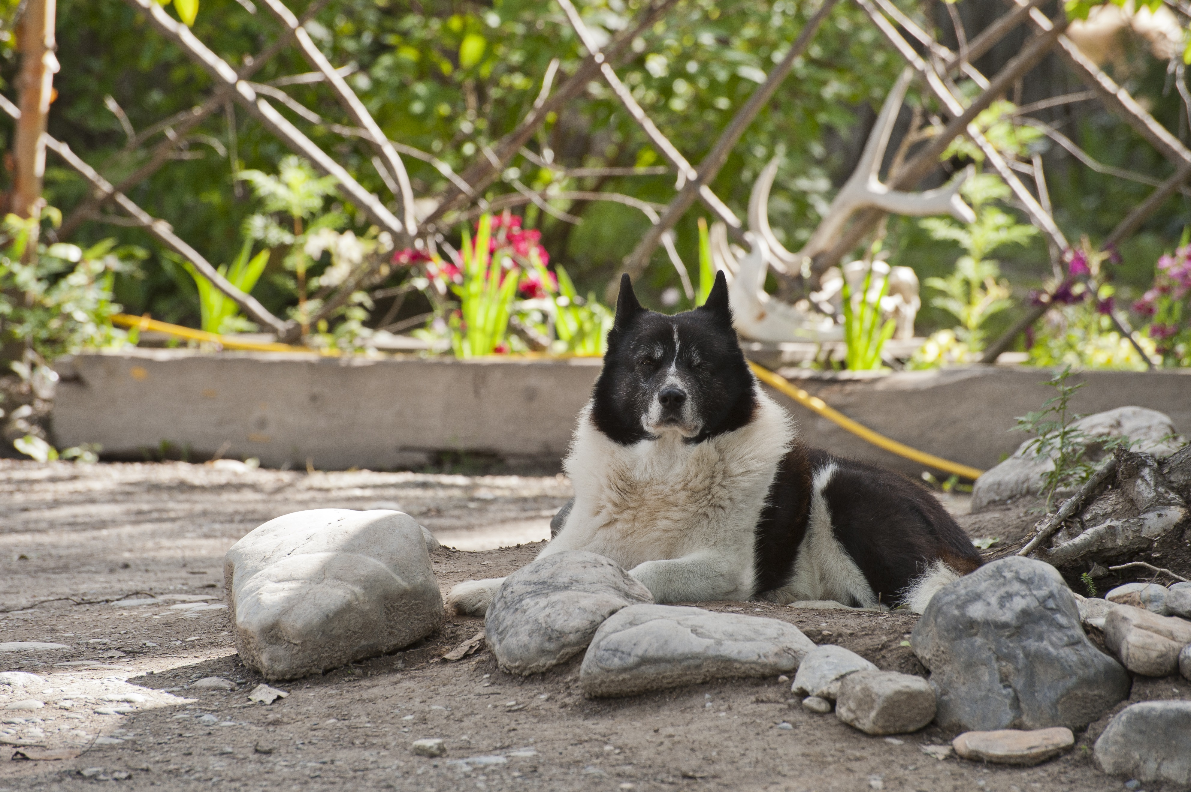 Karelian Bear Dog Breed Pictures