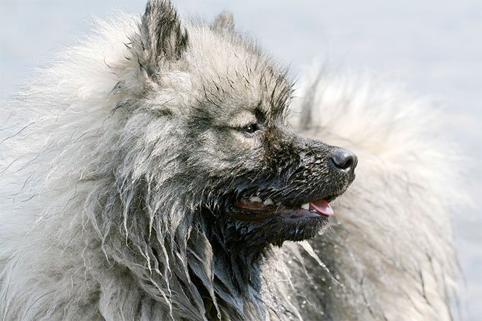 keeshond dog breed picture
