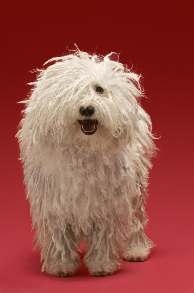 Komondor Dogs And Puppies