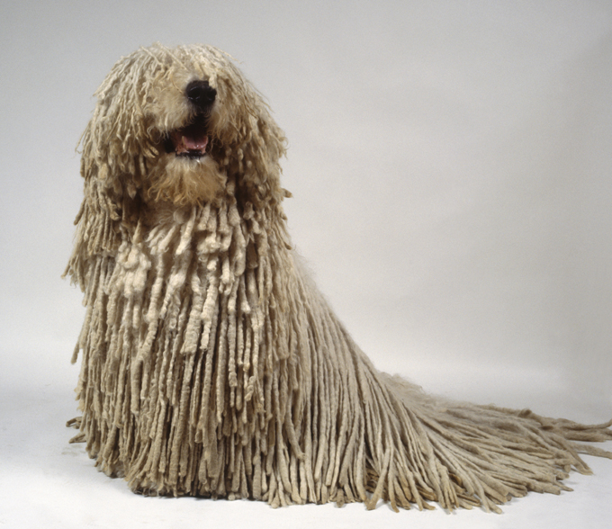 Dog With Hair That Looks Like A Mop