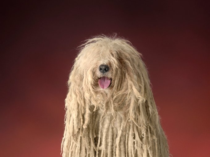 Komondor Dog Breed Information Pictures Characteristics Facts