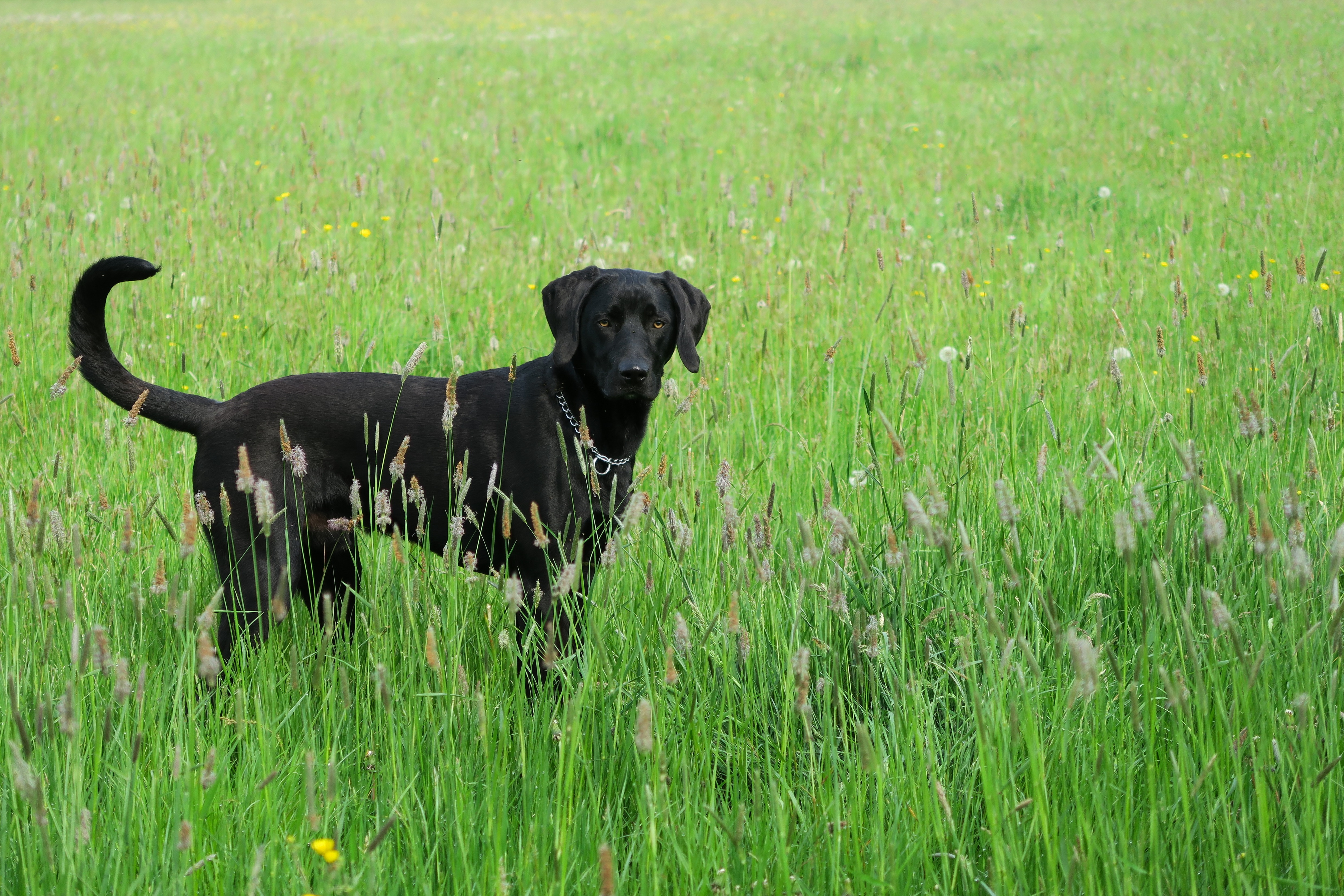 Labmaraner Mixed Dog Breed Pictures