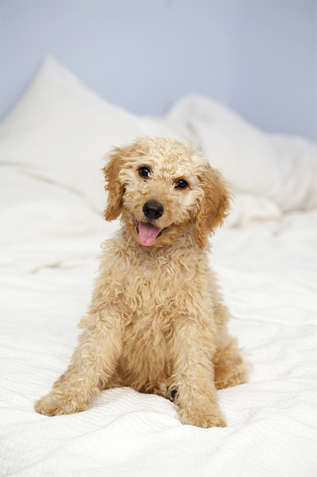 Labradoodle Dog Breed Information Pictures Characteristics Facts