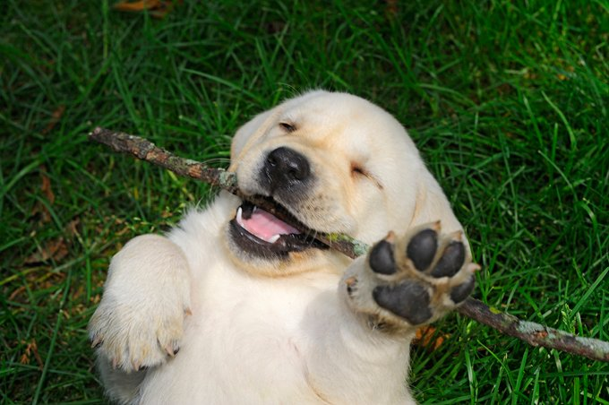 a look at the dog breed labradors It really is about much more than what looks good on paper:  can certain breeds of dog really be suitable for people who are allergic to dogs  pit bull, or.