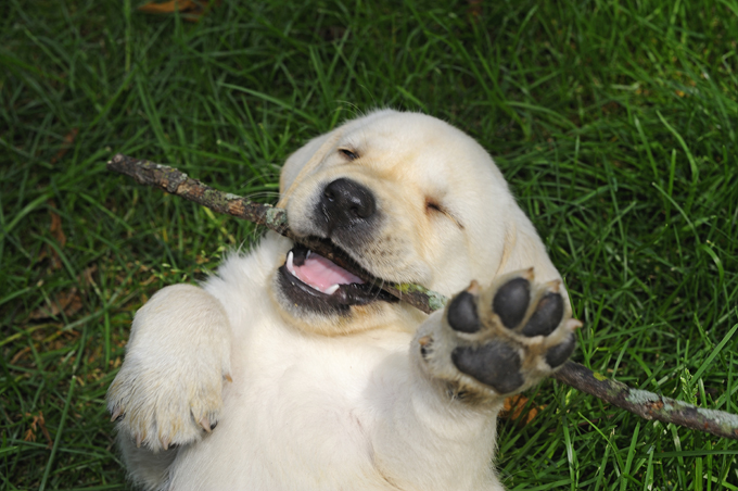 Best Dog Food For Labrador Puppies Uk