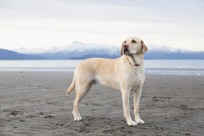 [Image: labrador-retriever-dog-pictures-8.jpg]