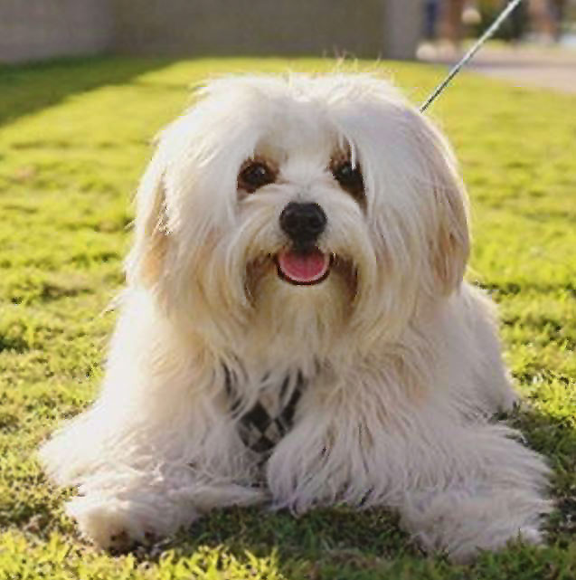 Lowchen Dog Breed Picture
