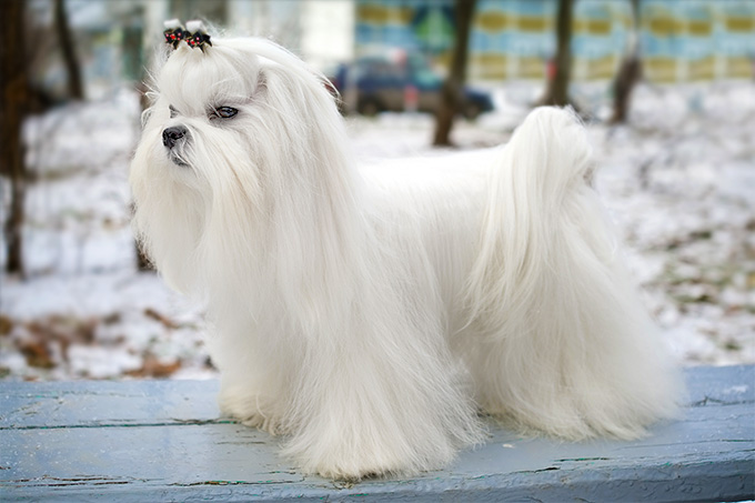 Maltese Dog Breed Information, Pictures, Characteristics