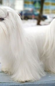 maltese dog. maltese dog breed picture