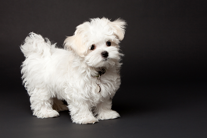 maltese dog. previous thumbs. maltese puppies; puppy dog g