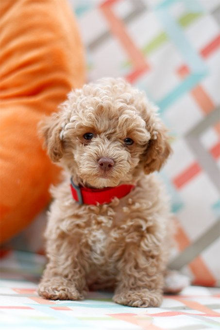 Maltipoo Dog Breed Information, Pictures, Characteristics ...