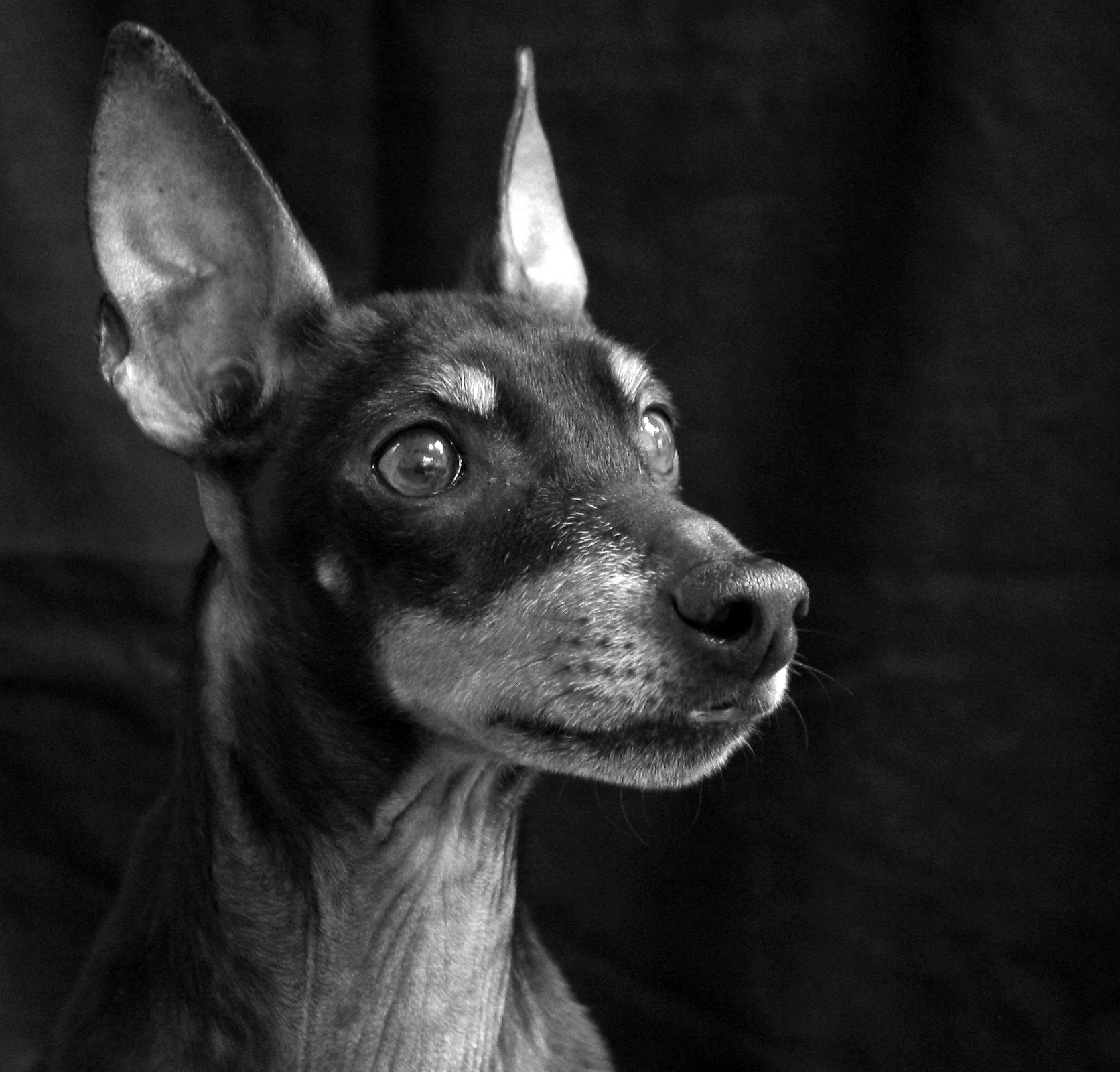 Manchester Terrier Dog Breed Information, Pictures, Characteristics ...