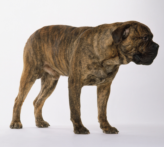 Mastiff Dog Breed Information Pictures Characteristics Facts
