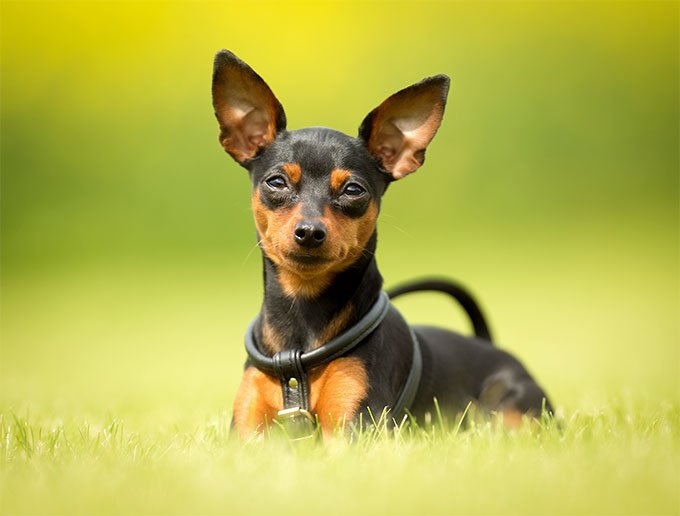 Miniature Pinscher Dog Breed Information Pictures Characteristics