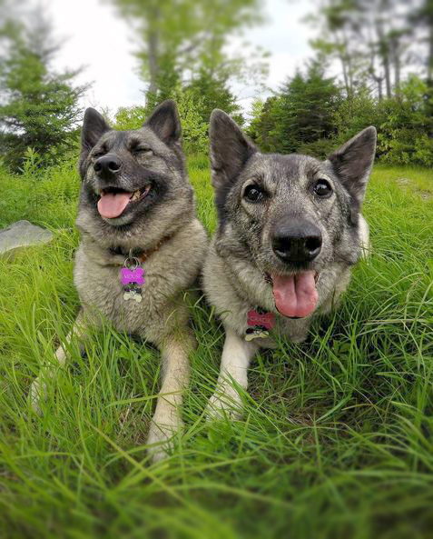 Norweigan Elkhound Dog Breed Picture