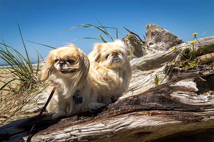 pekingese dog breed picture