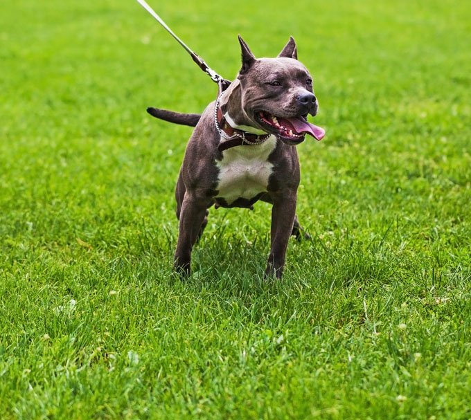 american pit bull terrier dog breed information pictures