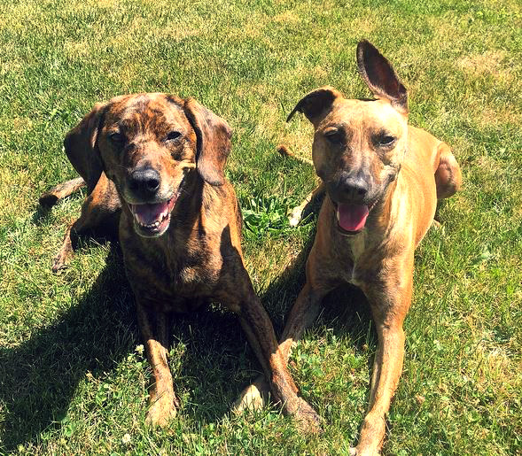 This Pack Hunting Dog Breed Was Developed In North Carolina More Than 200 Years Ago To Hunt Bear And Wild Boar They Are Still Used As Dogs Today
