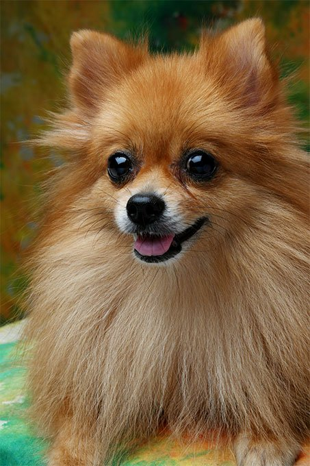 teacup pomeranian life expectancy pomeranian dog breed information pictures 541