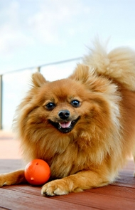 Pomeranian dog breed information pictures characteristics facts pomeranian dog breed picture altavistaventures Images