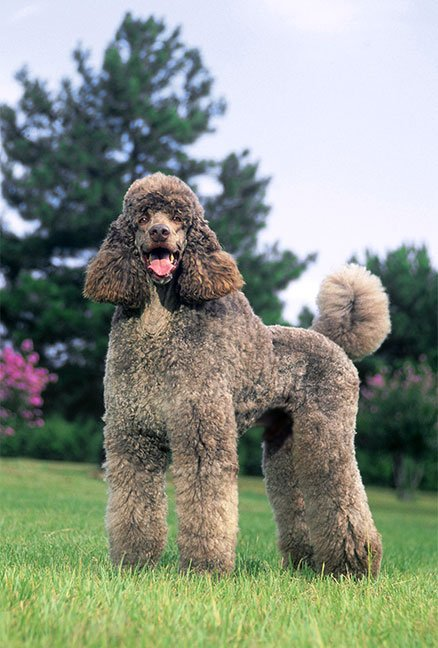 What The Best Dog Food For Poodles