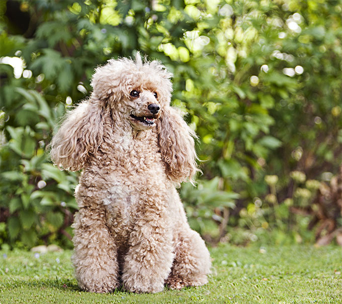 poodle dog breed information pictures characteristics facts