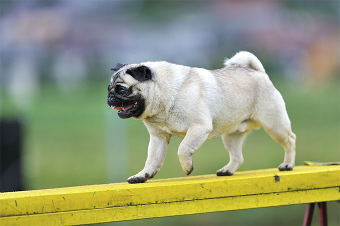 Pug Dog Breed Information 19b17bfc6c3e