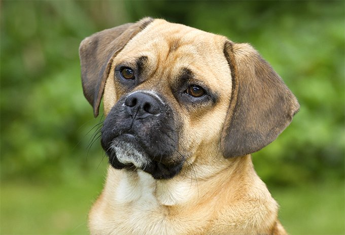 what is a puggle dog