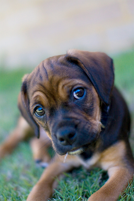 Puggle Dog Breed Information, Pictures, Characteristics ...