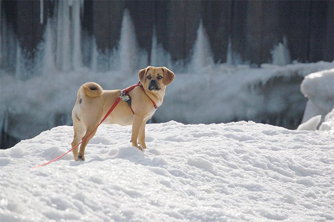 Puggle Dog Breed Picture