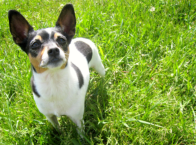 Show Me Pictures Of Rat Terrier Dogs
