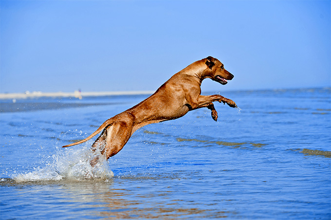 Rhodesian Ridgeback Dog Breed Picture