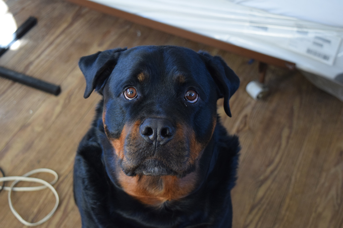 rottweiler dog mean. rottweilers were originally dogs bred to drive cattle market. later they used pull carts for butchers. among the earliest police rottweiler dog mean