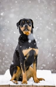 rottweiler dog. rottweiler dogs and puppies dog