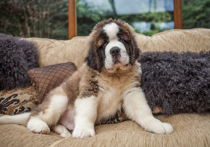 Saint Bernard Dog Breed Information Pictures Characteristics