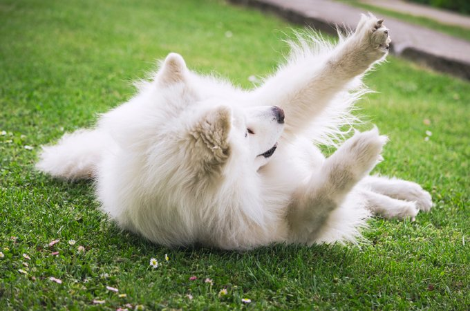 Samoyed Dog Breed Information, Pictures, Characteristics