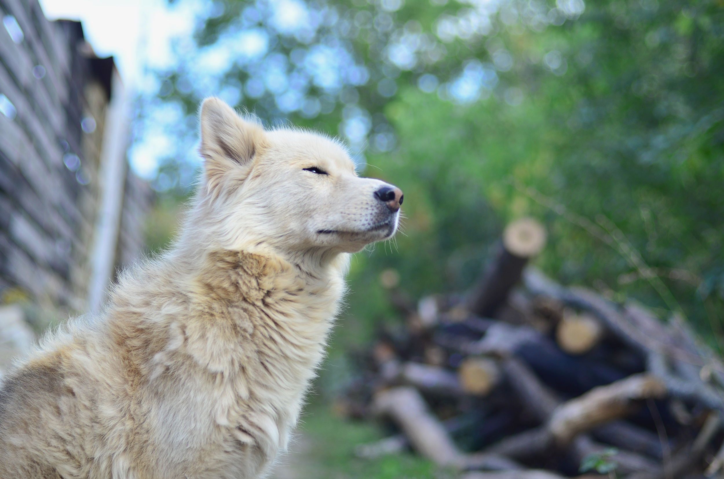 Samusky Mixed Dog Breed Pictures