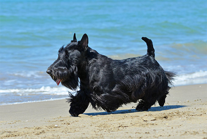 Scottish Terrier Dog Breed Information, Pictures, Characteristics ...