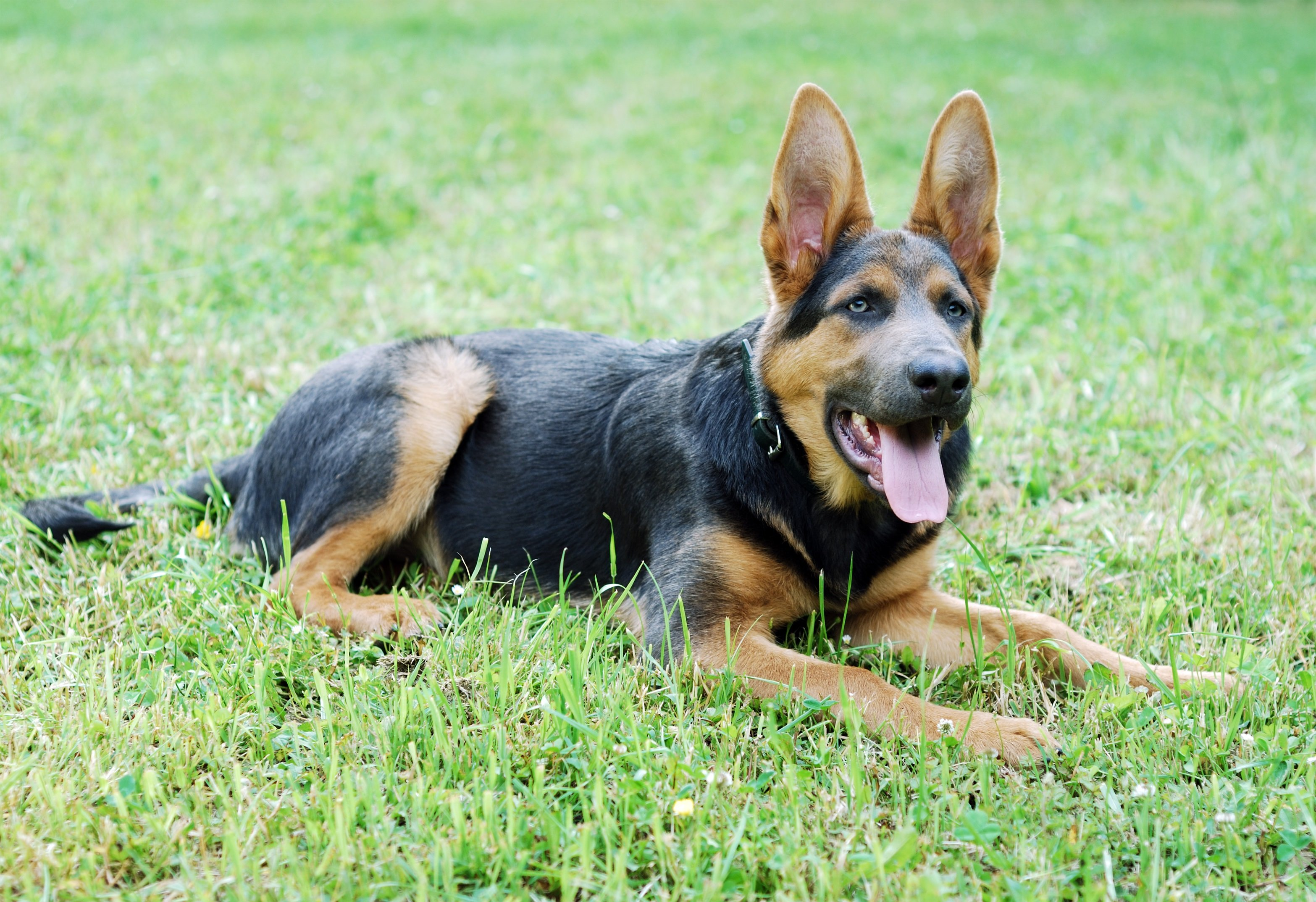 Shepsky Mixed Dog Breed Pictures