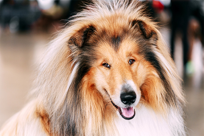 Shetland Sheepdog Dog Breed Information Pictures Characteristics