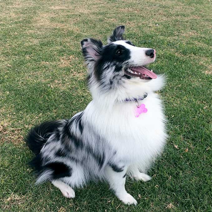 Shetland Sheepdog Dog Breed Information Pictures Characteristics Amp Facts Dogtime