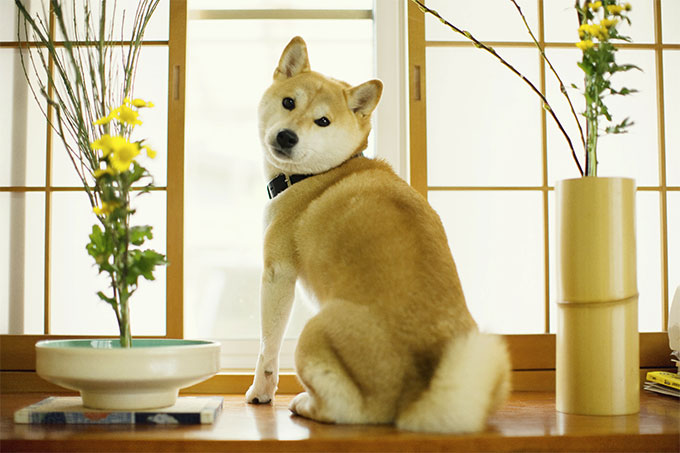 Shiba Inu Dog Breed Information, Pictures, Characteristics & Facts ...