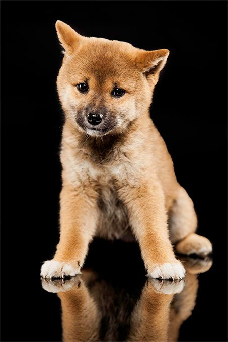 Shiba Inu Dog Breed Information Pictures Characteristics Facts