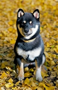 shiba inu rat terrier mix list of synonyms and antonyms of the word shiba inu 6345